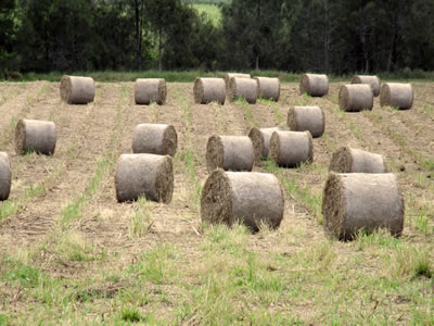 Field of rolled Hay Bales